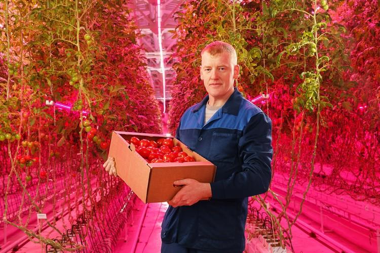 Philips для выращивания овощей в теплице закрытого типа